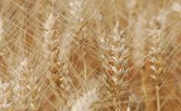小麦发展史,小麦的起源,小麦最早是在哪发现的?小麦的祖先是什么?