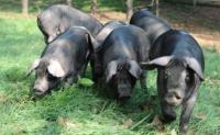 猪的驯化历史,世界上第一头猪什么时候出现的?在哪出现的?世界上第一头驯化猪是在中国吗?