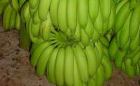 世界上第一根香蕉起源于哪里?第一根香蕉起源于菲律宾吗?香蕉是如何发展为今天的水果的?香蕉是如何逐步传播向全世界的?