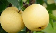 吃梨要削皮吗,吃皮对身体好吗?吃梨可以预防糖尿病吗?吃其他水果要削皮吗?吃水果不吃皮,会不会丢失营养?